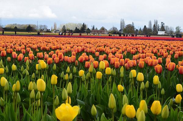 Hình ảnh cánh đồng hoa tulip đẹp 6