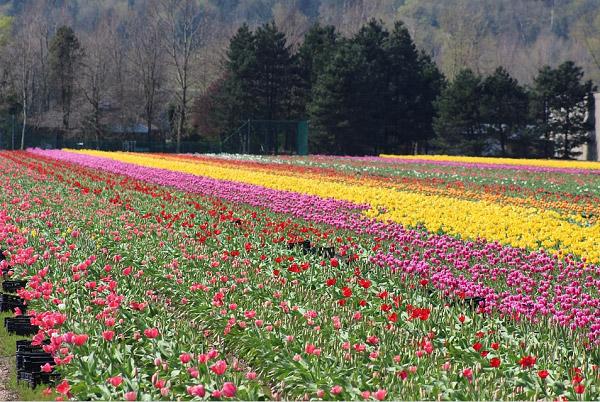 Hình ảnh cánh đồng hoa tulip đẹp 7