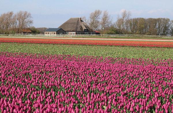 Hình ảnh cánh đồng hoa tulip đẹp 8
