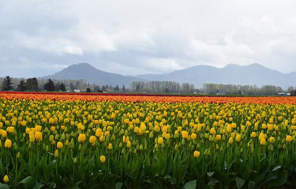 Hình ảnh cánh đồng hoa tulip đẹp 9