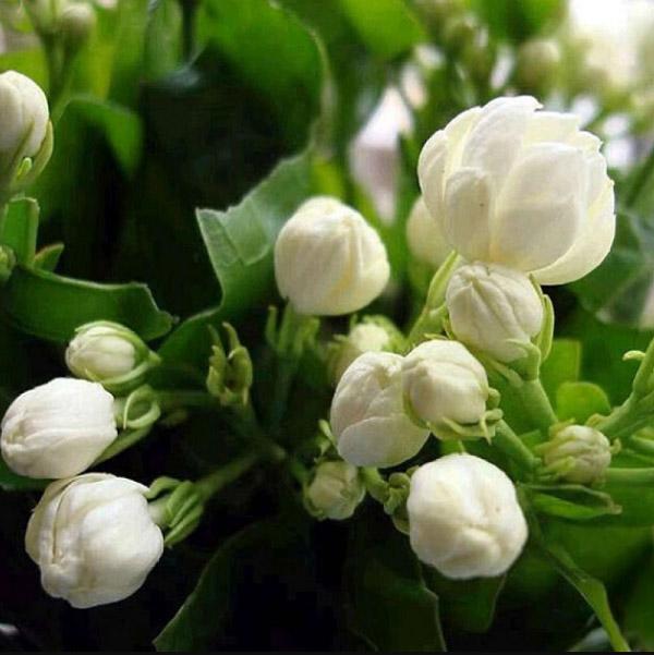 Những hình ảnh hoa nhài đẹp nhất