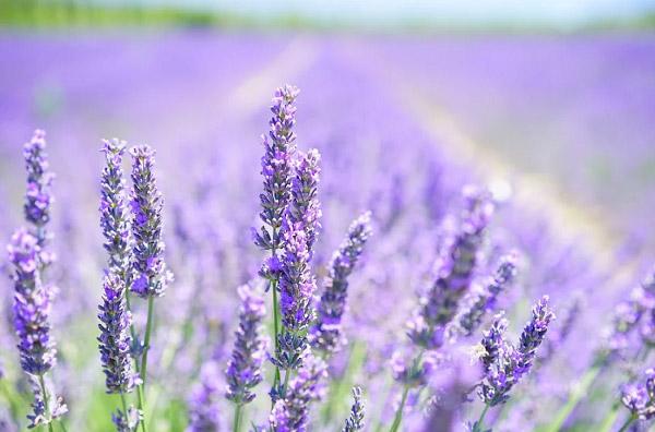 Hình ảnh đẹp hoa oải hương