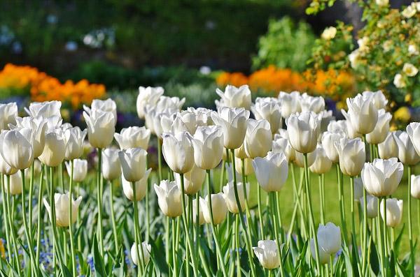 Hình ảnh hoa tulip đẹp 1