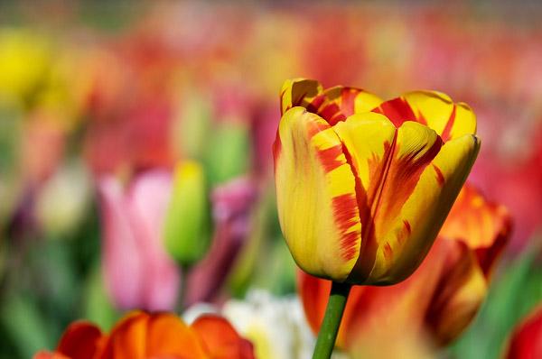 Hình ảnh hoa tulip đẹp 10