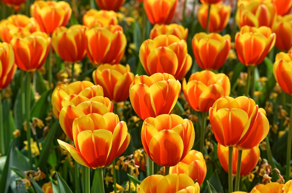 Hình ảnh hoa tulip đẹp 3