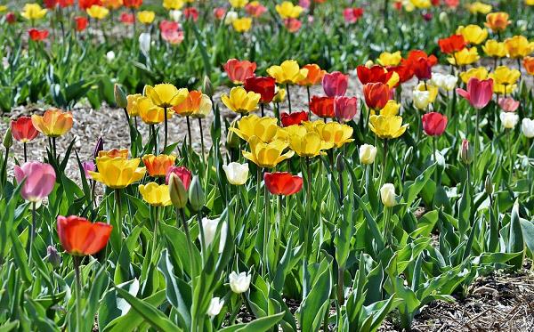 Hình ảnh hoa tulip đẹp 4