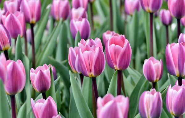Hình ảnh hoa tulip đẹp 5