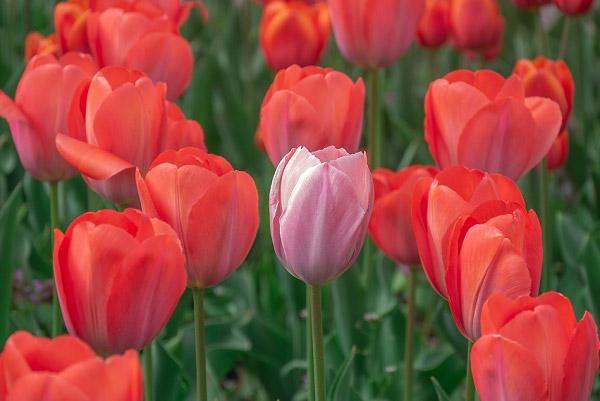 Hình ảnh hoa tulip đẹp 6