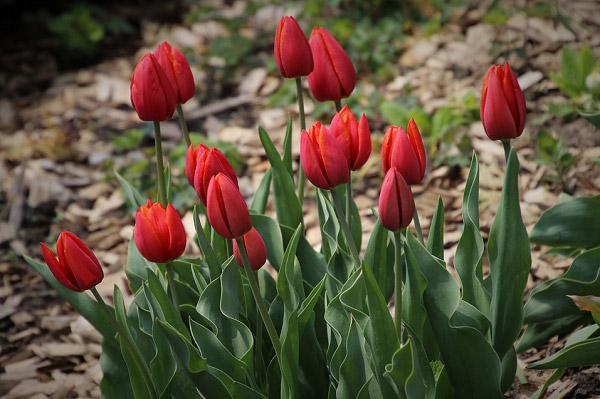 Hình ảnh hoa tulip đẹp 8