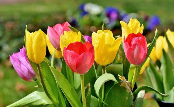 Hình ảnh hoa tulip đẹp 9