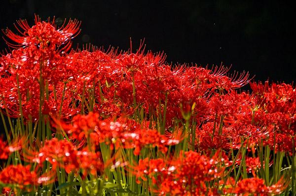 Những cánh hoa bỉ ngạn đỏ rực