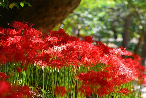 Hoa bỉ ngạn đỏ là màu sắc phổ biến nhất