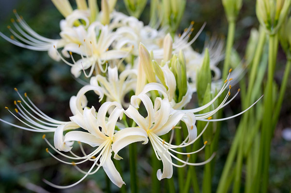 Hoa bỉ ngạn màu trắng muốt