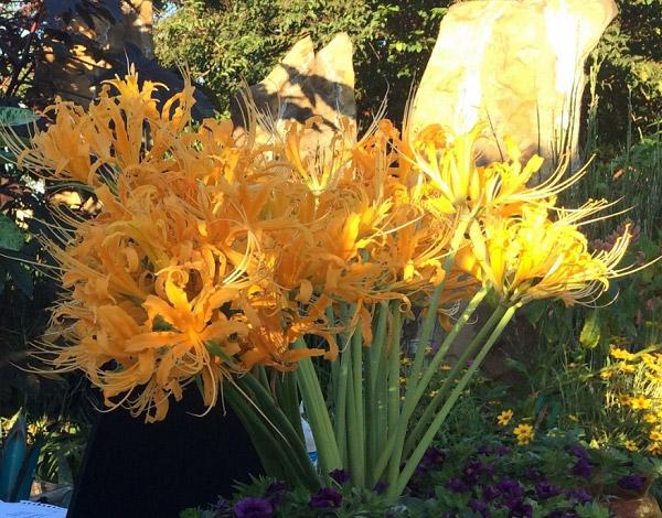 Hoa bỉ ngạn vàng cho người mệnh kim