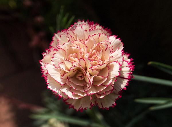 Hình hoa cẩm chướng đẹp