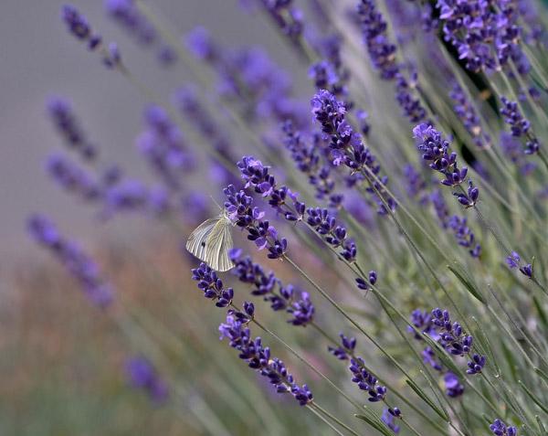 Hoa lavender và cánh bướm vàng