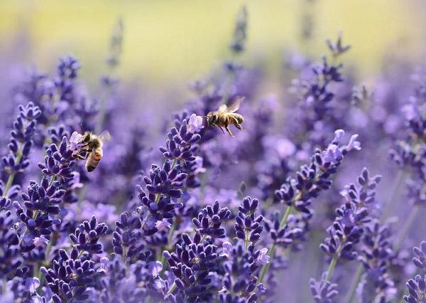 Hoa lavender và chú ong