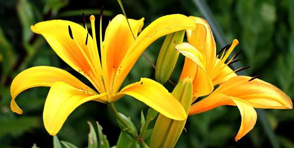 Bông ly màu vàng