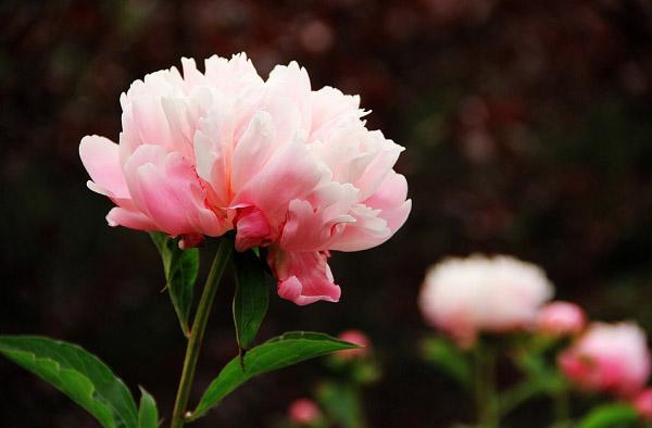 Hoa mẫu đơn hồng