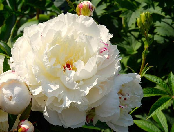 Hoa mẫu đơn trắng