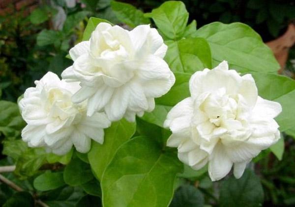 Những bông hoa có màu tinh khiết