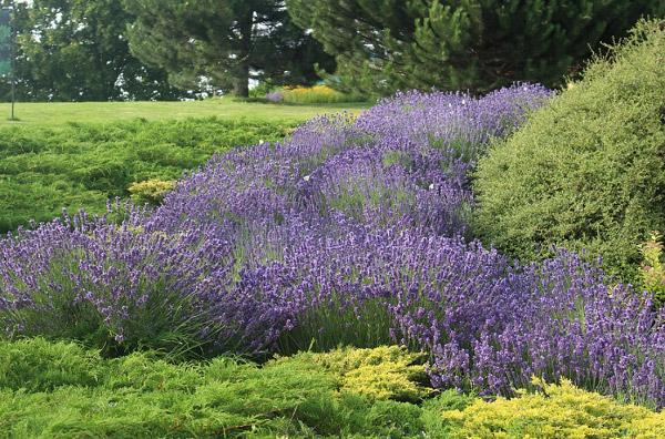 Oải hương trong vườn