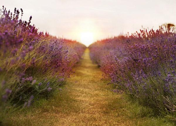 Hoa oải hương và mặt trời