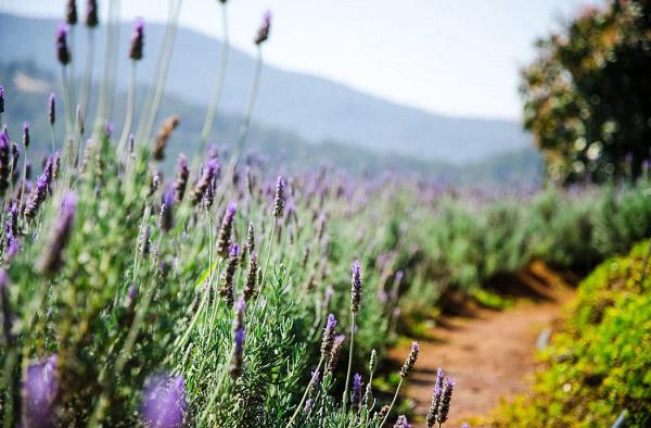Hoa oải hương ven đường