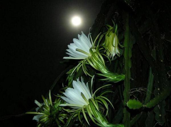 Hình ảnh hoa quỳnh nở dưới ánh trăng