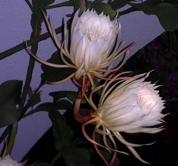 Hoa quỳnh nở vào ban đêm