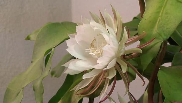 Hoa quỳnh trắng muốt