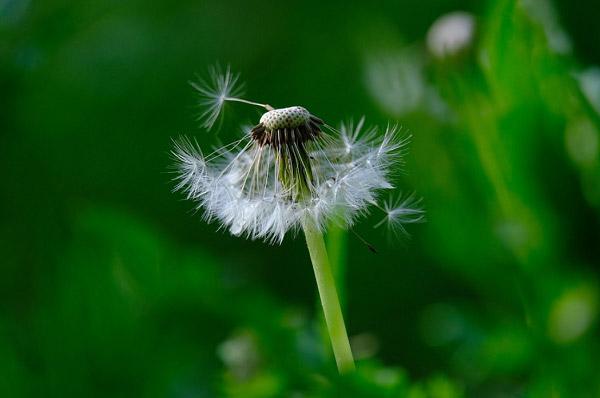 Hoa tàn, còn lại vài cánh hoa cuối cùng