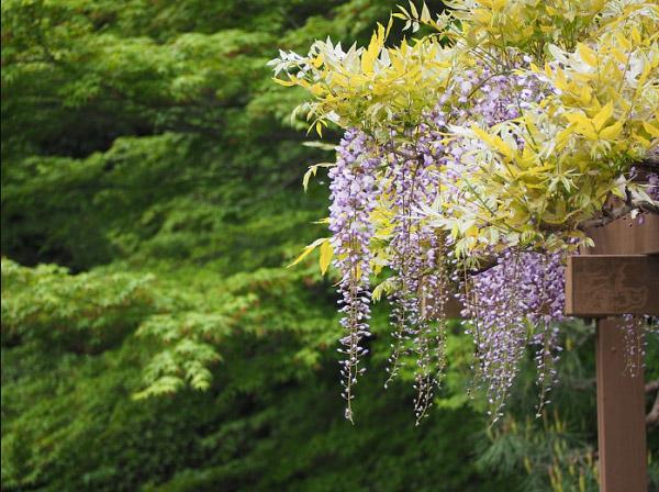 Những chùm hoa rủ thơ mộng