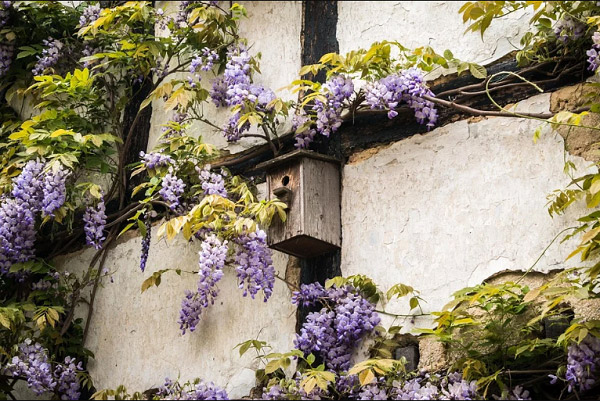 Hoa tử đằng có ý nghĩa gì, cách trồng và phong thủy