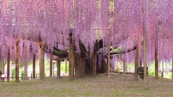 Cây tử đằng siêu to khổng lồ tại Nhật Bản