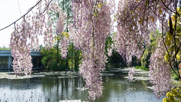Hoa khoe sắc bên bờ hồ