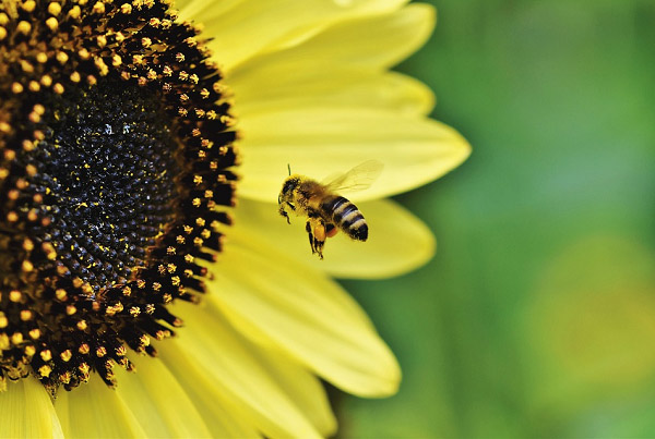 Hoa hướng dương và chú ong