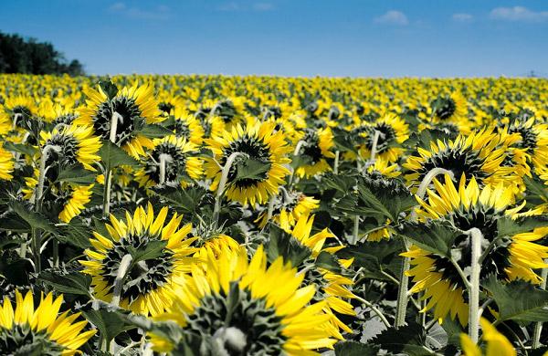Những bông hoa luôn hướng về ánh mặt trời