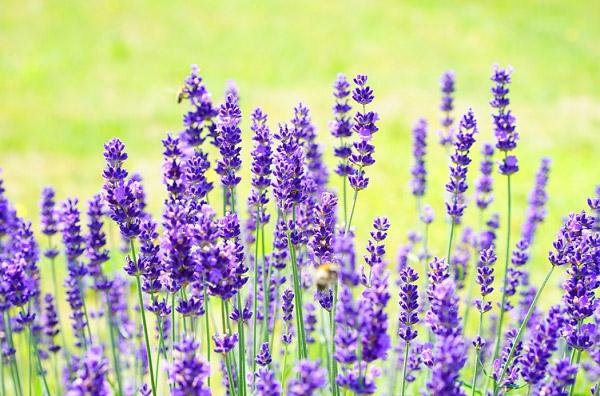 Hình ảnh hoa lavender đẹp