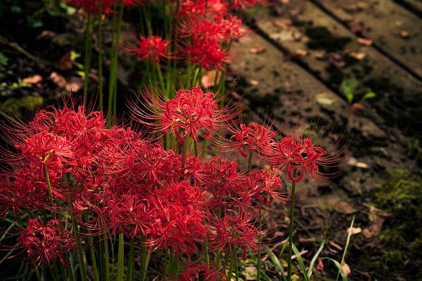 Nguồn gốc của loài hoa bỉ ngạn