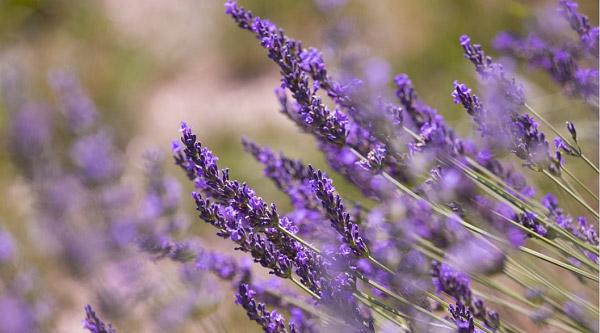 Nhành hoa lavender