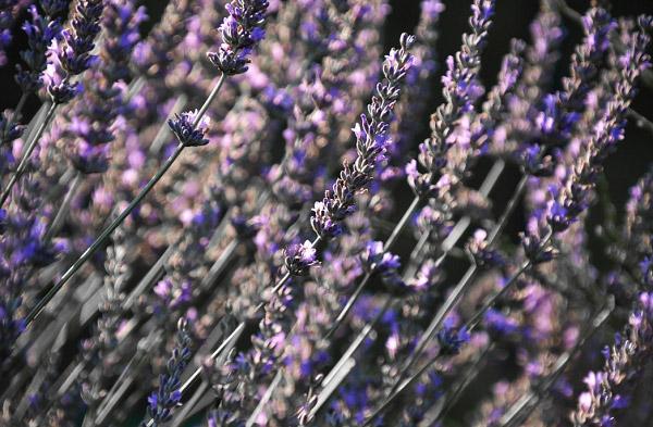 Nhành hoa oải hương