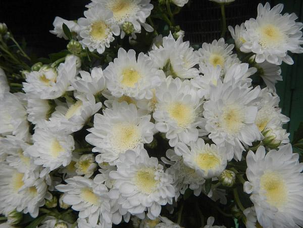 Những bông cúc trắng