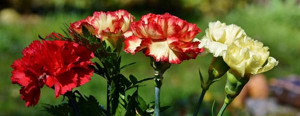 Cấu tạo của những bông hoa cẩm chướng