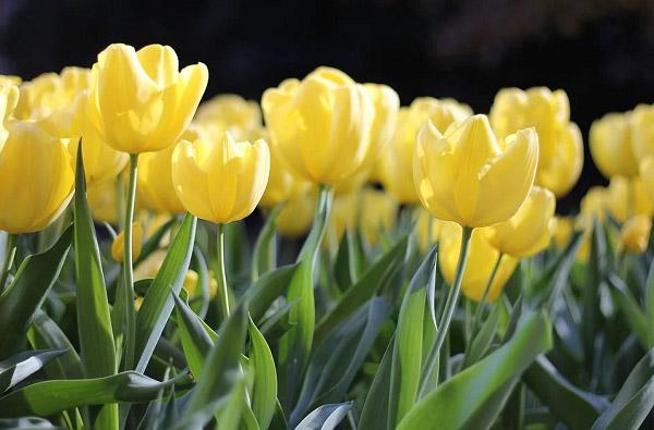 Những bông tulip vàng rực rỡ