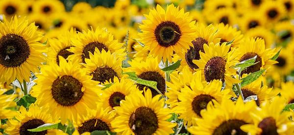 Những bông hoa khoe sắc rực rỡ