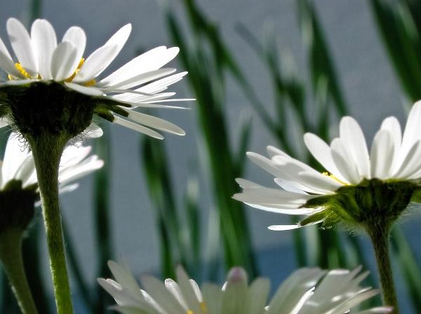 Hoa cúc trắng đang nở