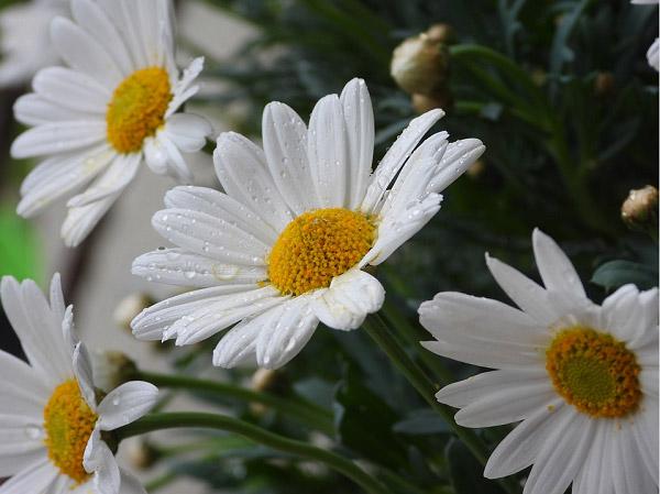 Hoa cúc trắng với nhiều ý nghĩa tại những nơi khác nhau