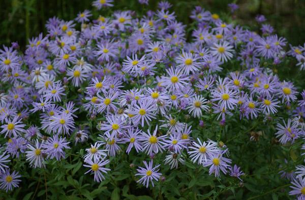 Những cánh hoa thạch thảo mong manh