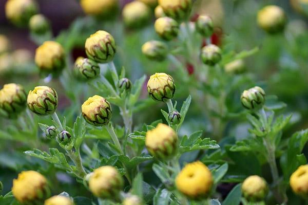 Búp hoa